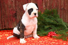 American Bulldog Puppy Old Red Barn Boards Stock Images