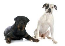 American bulldog and rottweiler Royalty Free Stock Photos