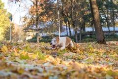American Bulldog is Running on autumn Ground. Try To Catch a Ball. American Bulldog is Running on autumn Ground. Try To Catch a Ball stock photo