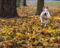 American Bulldog is Running on autumn Ground. Try To Catch a Ball. American Bulldog is Running on autumn Ground. Try To Catch a Ball royalty free stock images