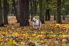 American Bulldog is Running on autumn Ground. Try To Catch a Ball. American Bulldog is Running on autumn Ground. Try To Catch a Ball stock images