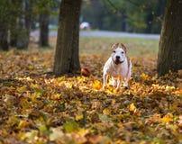 American Bulldog is Running on autumn Ground. Try To Catch a Ball. American Bulldog is Running on autumn Ground. Try To Catch a Ball stock photos