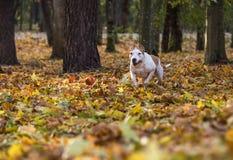 American Bulldog is Running on autumn Ground. Try To Catch a Ball. American Bulldog is Running on autumn Ground. Try To Catch a Ball royalty free stock image