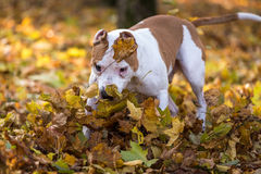 American Bulldog is Running on autumn Ground. Try To Catch a Bal Stock Image