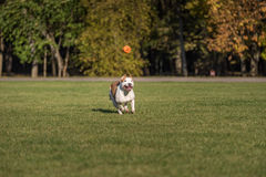 American Bulldog is Running on the Grass. Try To Catch a Ball. Royalty Free Stock Photos