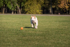 American Bulldog is Running on the Grass. Try To Catch a Ball. Stock Images