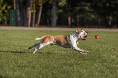 American Bulldog is Running on the Grass. Try To Catch a Ball. Stock Photos