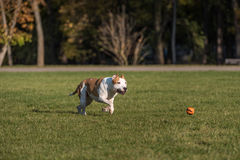 American Bulldog is Running on the Grass. Try To Catch a Ball. Royalty Free Stock Image