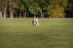 American Bulldog is Running on the Grass. Try To Catch a Ball. Royalty Free Stock Photography