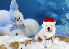 American Bulldog in Santa Suit Stock Photo