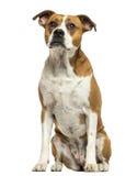 American Bulldog sitting, isolated Stock Photo