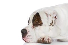 American Bulldog sleeping (side view) Royalty Free Stock Images