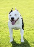 American Bulldog Royalty Free Stock Photos