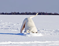 Dog search for something interesting under snow Royalty Free Stock Photography