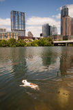 American Bulldog Swims in Colorado River Downtown Austin Texas Royalty Free Stock Photography