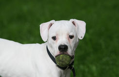 American bulldog with tennis ball Royalty Free Stock Images