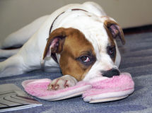 The American Bulldog is waiting for the host head on slipper Stock Photos