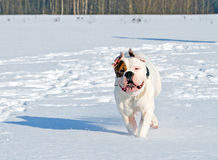 Happy dog on a winter day Royalty Free Stock Images