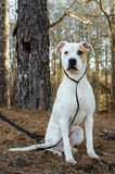 American Bulldog. White and tan American Bulldog dog, outdoor pet photography, humane society adoption photo, Walton County Animal Shelter, Georgia Royalty Free Stock Photos
