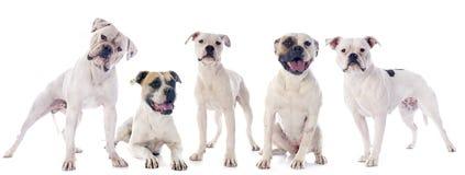 American bulldogs Stock Photos