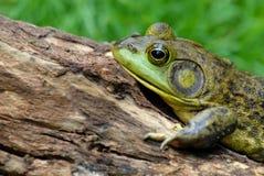 American Bullfrog. Details of American bullfrog on log Royalty Free Stock Photo