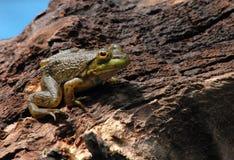American bullfrog. Young American bullfrog on wooden log Stock Photography