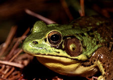 American Bullfrog. (Rana catesbeiana) sitting by pond royalty free stock images