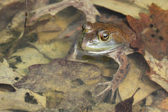 American bullfrog. In the water stock photography