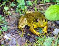 American Bullfrog. Closeup of a frog that turned to face the camera rather than leaping away stock photography