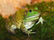 American bullfrog Royalty Free Stock Images