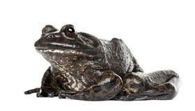American bullfrog or bullfrog, Rana catesbeiana. Against white background royalty free stock photos