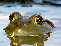 American Bullfrog Eyes Stock Photo