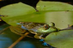 American bullfrog floating among lily pads. A partially submerged American bullfrog resting on a lilypad stock photography