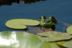 American bullfrog floating among lily pads. An American bullfrog resting on a lily pad royalty free stock photos