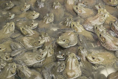 American bullfrog in frog farm. Royalty Free Stock Image
