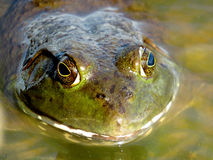 American Bullfrog Royalty Free Stock Photography
