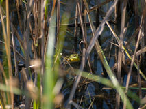 American Bullfrog in the Grass. In Delaware County Park in Central Ohio royalty free stock photo