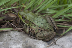 American Bullfrog in Grass Royalty Free Stock Photos