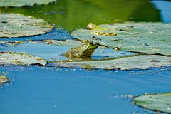 American Bullfrog on a Lily Pad. An American Bullfrog sits on a lily pad floating in the water. These frogs are very vocal and can be heard near most waterways royalty free stock photo