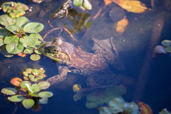 American Bullfrog - Lithobates catesbeianus, camouflaged. Royalty Free Stock Image