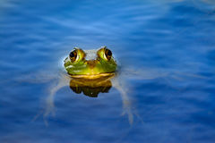 American bullfrog (Lithobates catesbeianus) floating in pond. American bullfrog (Lithobates catesbeianus) in pond with head and eyes protruding out of water stock image