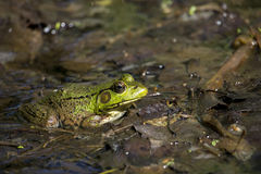 American Bullfrog. The American bullfrog (Lithobates catesbeianus), often simply known as the bullfrog in Canada and the United States, is an amphibious frog, a stock images