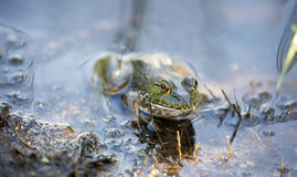 American Bullfrog - Lithobates catesbeianus. Santa Clara County, California Royalty Free Stock Photos