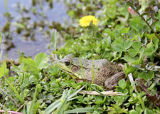 American Bullfrog Lithobates Catesbeianus. American Bullfrog or Lithobates Catesbeianus sitting on the shore of a freshwater lake stock images