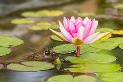 American Bullfrog Lithobates catesbenianus on a lily pad. American Bullfrog next to a pink lily pad and flower royalty free stock image