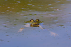 American Bullfrog. An American Bullfrog in the Milwaukee River in summer royalty free stock photography