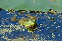 American Bullfrog near a Lily Pad. An American Bullfrog sits in the water among the lily pads. These frogs are very vocal and can be heard near most waterways stock photos