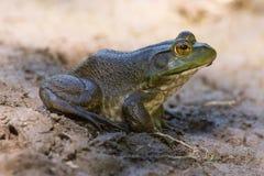 American Bullfrog. An American Bullfrog near the Milwaukee River in summer royalty free stock photo