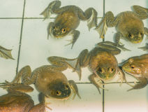American Bullfrog in pond.  royalty free stock images