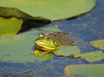 American Bullfrog in pond. A large American Bullfrog hanging out amongst the lily pads in a summertime pond royalty free stock images